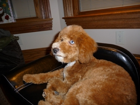 Labradoodle Puppies For Salemerles